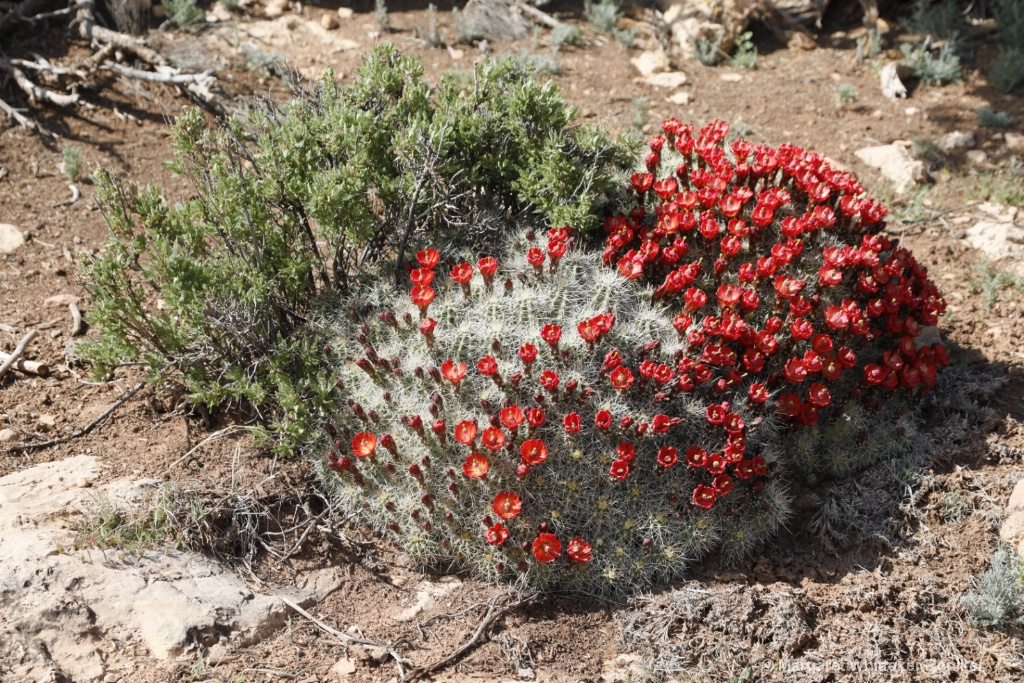 Barrel Cactus Flowers-1790.JPG - ID: 15722298 © Margaret Whittaker Reniker