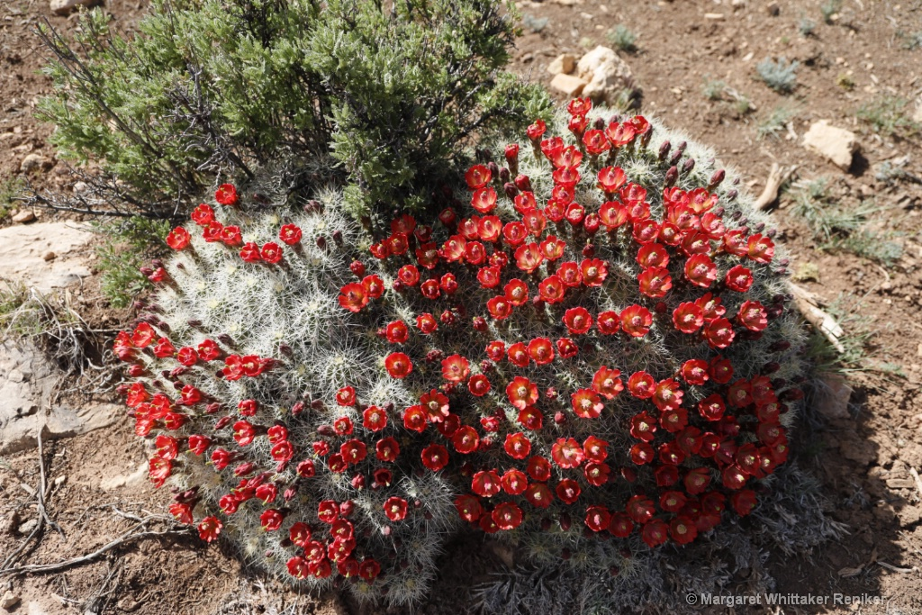 Barrel Cactus Flowers-1794.JPG - ID: 15722299 © Margaret Whittaker Reniker