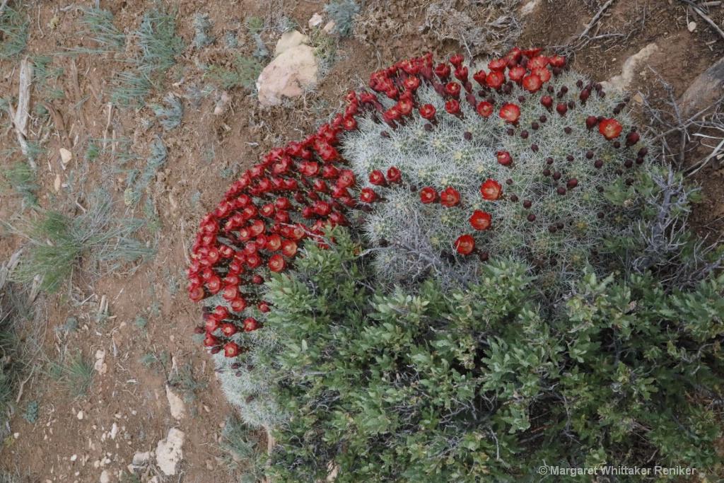 Barrel Cactus Flowers-1810.JPG - ID: 15722301 © Margaret Whittaker Reniker