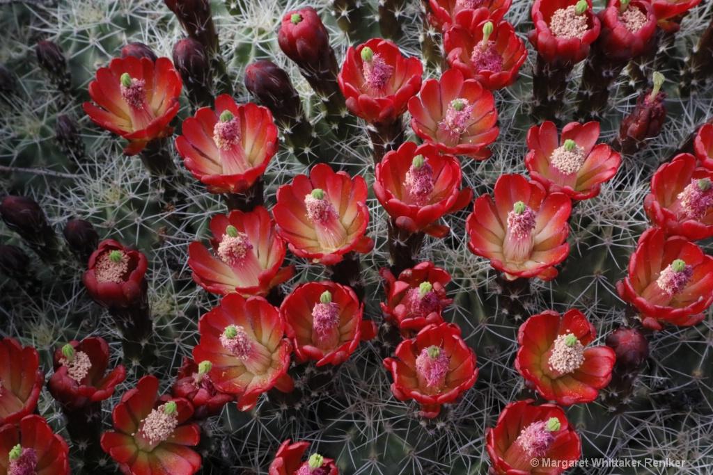 Barrel Cactus Flowers-1814.JPG - ID: 15722302 © Margaret Whittaker Reniker