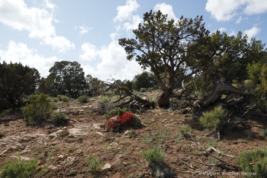 Barrel Cactus Flowers-1821.JPG - ID: 15722306 © Margaret Whittaker Reniker