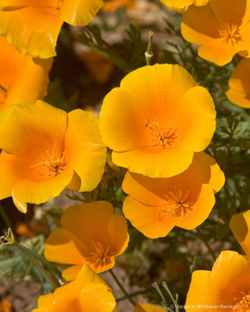 Yellow Poppies MIWhittakerPhotos - ID: 15722308 © Margaret Whittaker Reniker