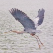 Blue Heron in Fli...