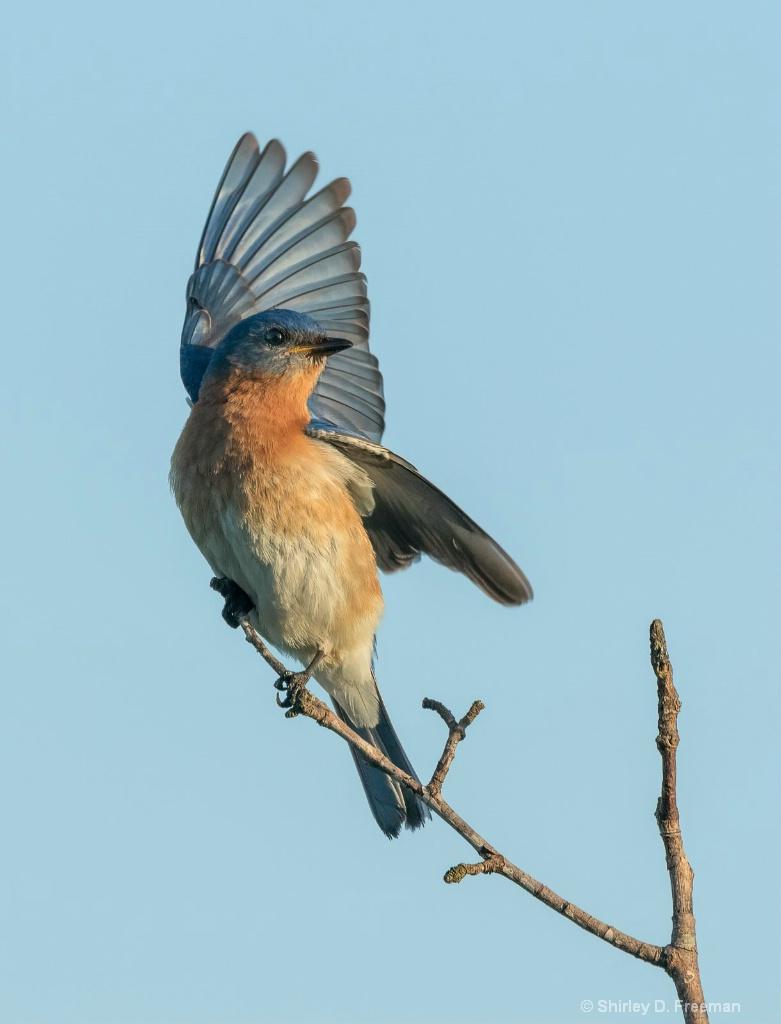 Wing Up - ID: 15722744 © Shirley D. Freeman