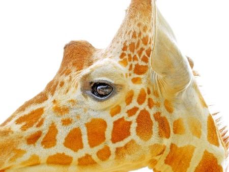 A profile of giraffe head.