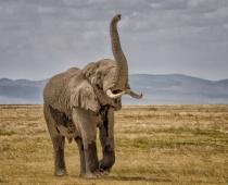 Elephant Greeting   5426