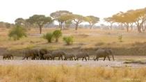 Elephants and Acatia Trees