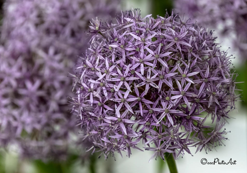Lilac Twinkles