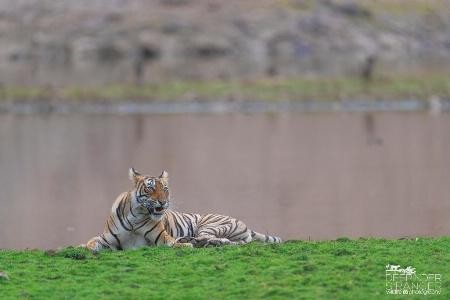 Sultana-the beautiful tigress of zone :1