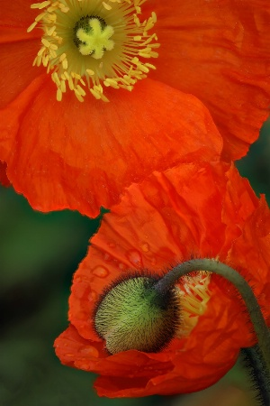 Orange Poppies and Bud