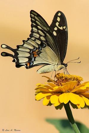 Giant Swallowtail 4