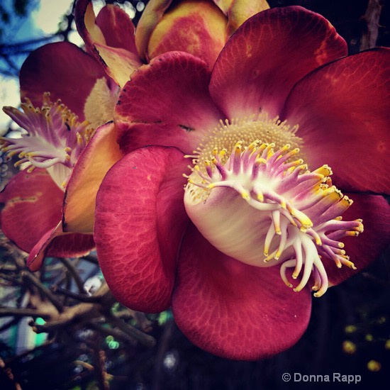 Red Alien Orchid Flower - ID: 15723574 © Donna Rapp