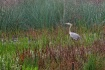 Heron in the Slou...